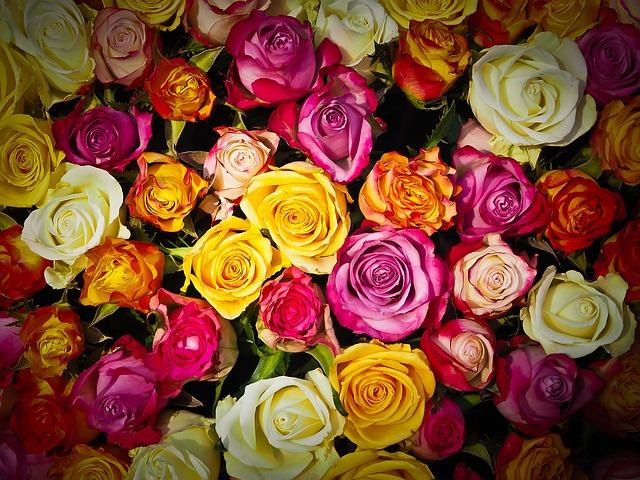 barvy růží